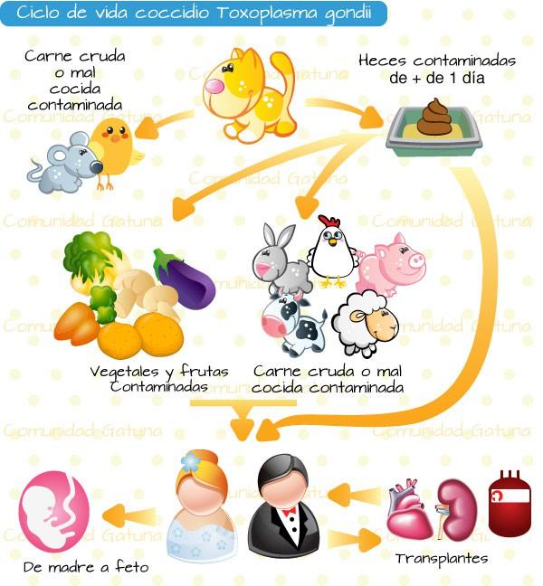 ciclo de vida do toxoplasma gondii