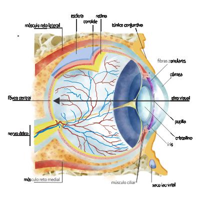 estruturas do olho humano